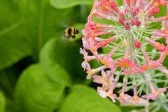 Bumble Bee flying towards pink summer flower cluster. Yellow and black Bumble Bee flying towards a Primula Candelabra Candela Primrose stock photos