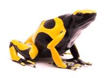 Yellow black bumblebee poison dart frog stock images