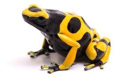 Yellow black bumblebee poison dart frog Dendrobates leucomelas stock images