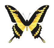 Yellow and black butterfly  Stock Images