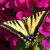 Yellow and black butterfly. Close up of a beautiful black and yellow large butterfly on pink fuchsia flowers Stock Photo
