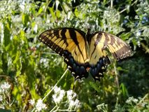 Yellow and Black Butterfly - Eastern Tiger Swallowtail Papilio stock images
