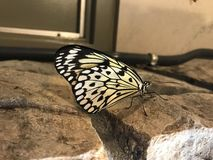Yellow and Black Butterfly on a ledge stock photography