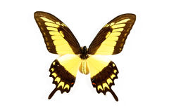 Yellow and black butterfly Papilio thoas isolated Royalty Free Stock Image