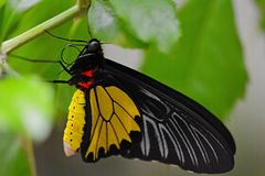 Golden Birdwing (Troides aeacus) butterfly Royalty Free Stock Photo