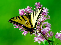 Yellow and Black Butterfly Perching on Purple Petaled Flower Royalty Free Stock Image