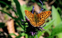 Yellow and Black Butterfly on Purple Flower at Daytime Royalty Free Stock Images