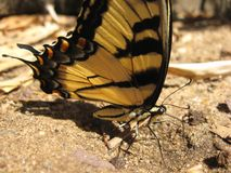 Yellow and black butterfly. Sitting in dirt Stock Images