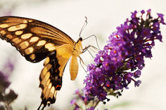 Yellow and Black Butterfly. Sitting on a flower Stock Photos