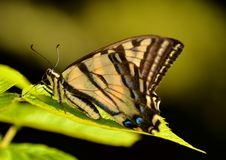 YELLOW AND BLACK BUTTERFLY. Swallow tail butterfly resting on a leaf in the garden Stock Photos