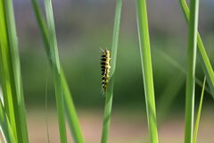 Yellow and black caterpillar on a green grass leaf as camouflage on green background