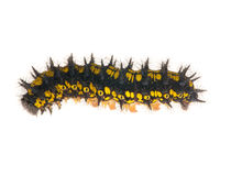 Yellow and black caterpillar isolated on white Stock Photo