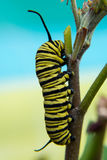 Yellow and black caterpillar on turquoise background Royalty Free Stock Photo