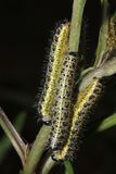 Yellow and black caterpillars; pieris brassicae Stock Image