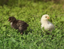 Yellow and black chicken walking on green meadow Stock Photos