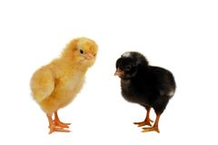 Yellow and Black Chicks. A yellow and a black chick standing with a white backgound Royalty Free Stock Photos