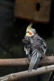 Yellow black cockatiel parakeet Royalty Free Stock Photos