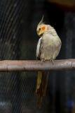 Yellow black cockatiel parakeet Royalty Free Stock Image