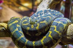 Yellow with black coiled up snake on a branch, closeup of a tropical reptile. A yellow with black coiled up snake on a branch, closeup of a tropical reptile royalty free stock photos