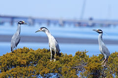 Yellow and Black-crowned Night Heron sitting together. Royalty Free Stock Image