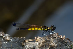 A yellow and black damselfly Royalty Free Stock Photos