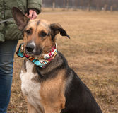 Yellow and black dog in colorful bandanna standing on autumn gra Stock Photos