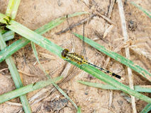 Yellow black dragon fly on grass. Yellow black pattern dragon fly on grass close up Stock Photography