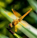 Yellow Black Dragon Fly on Green Leaf Plant Stock Photo