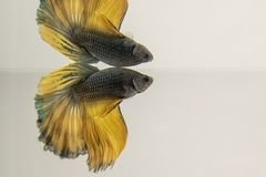 Yellow black dragon Siamese fighting fish. Isolated on white. Close-up photo stock photo