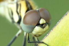 Yellow and Black Dragonfly Stock Photography