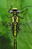 Yellow Black Dragonfly Stock Image