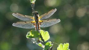 Yellow and black dragonfly flying on tree in beautiful morning sunrise. stock video