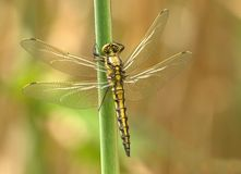 Yellow and Black Dragonfly on Green Stem during Daytime Stock Photos