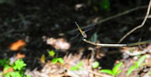 Yellow and Black Dragonfly with Red Face. Yellow and black striped dragonfly with red face sitting on a branch in the forest Stock Photos