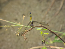 Yellow and black dragonfly. Dragonfly is resting on a dry branch Stock Photos