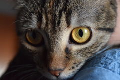 Yellow and Black Eyes Cat Stock Images