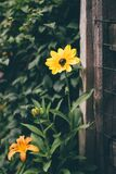 Yellow and Black Flower Infront of Brown Wood Frame Fence Stock Image