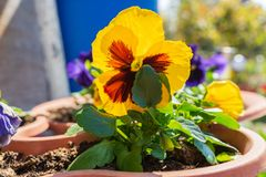 Yellow black flower in a pot royalty free stock images