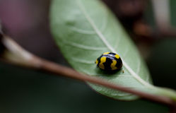 Yellow and black fungus eating ladybird Royalty Free Stock Images