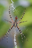 Yellow and Black Garden Spider Royalty Free Stock Photos