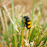 Yellow black grass insect. A very tiny yellow black grass insect walking on dry grass Royalty Free Stock Photography