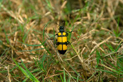 Yellow black grass insects. A very tiny yellow black grass insects walking on dry grass Stock Image