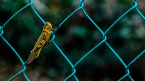 Yellow and Black Grasshopper on Teal Cyclone Wire Fence during Daytime in Shallow Focus Photography Stock Photography
