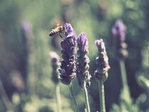Yellow and Black Honey Bee on Purple Lavender Flower Stock Images