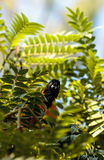 Yellow and black hooded oriole Icterus cucullatus Royalty Free Stock Images
