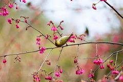 Yellow Black Hummingbird and Cherry Blossom Stock Photo