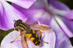 Close-up of a bee wasp sitting on a flower macrophotography royalty free stock photos