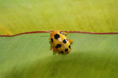 Yellow-black ladybird Royalty Free Stock Photo