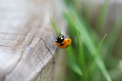 Yellow and Black Ladybug on Green Grass Stock Photos