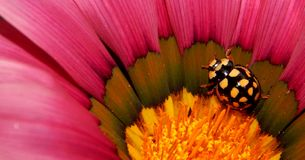 Yellow and Black Ladybug on Pink Flower Royalty Free Stock Images